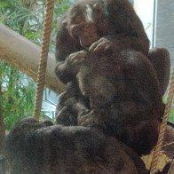 chimpgrooming.jpg