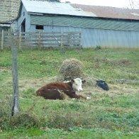 cow calf copy.jpeg