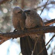 apostle birds.JPG
