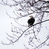 Bald eagle on tree.jpg