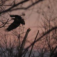 juvenile bald eagel at sunset.JPG