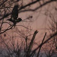 juvenile bald eagle at sunset 2.JPG