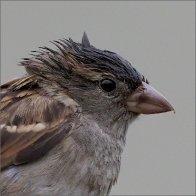Sparrows182.jpg