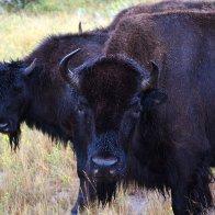 Bison cows_ndart58.jpg