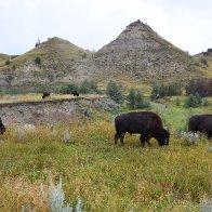 Bison grazing_ndart58.jpg