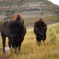 Bison bull cow2_ndart58.jpg