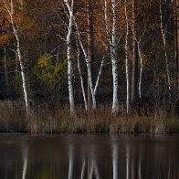 Birch reflections.jpg
