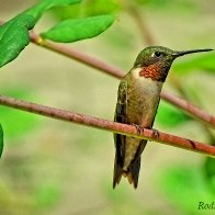 Ruby Throated Hummingbird  Best.jpg