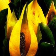 Coos Bay Skunk Cabbage.jpg