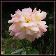 Pink rose12.jpg