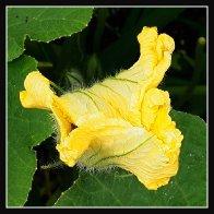 Zucchettiflower02.jpg