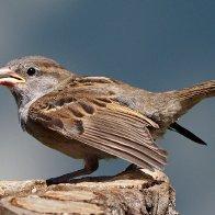 Sparrows410R3242.jpg
