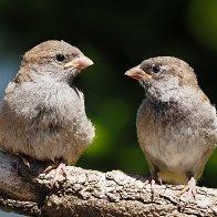 Sparrows411R3145.jpg