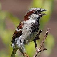 Sparrows448F0402.jpg