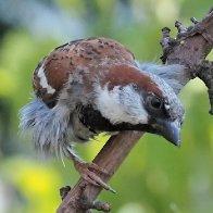 Sparrows449I8586.jpg