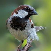 Sparrows450I8577.jpg