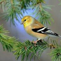 Goldfinch in a Fir Tree.jpg